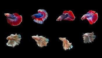 Siam Betta Fisch mit schönen Farben auf einem schwarzen Hintergrund foto