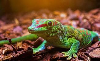 Madagaskar Riesen Tag Gecko Wald foto