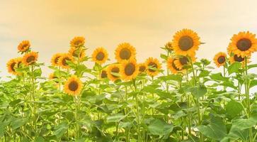 Im Garten blühen Sonnenblumen foto