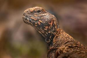 Porträt von Uromastyx Acanthinura foto