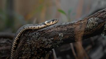 Grasschlange auf Ast foto