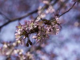 rosa Blumen des Kirschbaums, der auf einem Zweig mit blauem Himmel auf einer Hintergrundnahaufnahme mit geringer Schärfentiefe und Kopierraum blüht foto