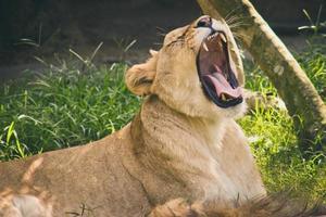 weiblicher Löwe brüllt foto