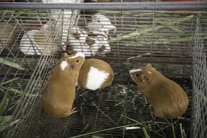 eine Gruppe von Cuys essen foto