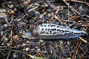 schalenlose Schnecke im Wald foto