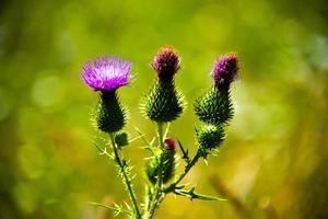 drei grüne Disteln und eine rosa Blume mit einem grünen Hintergrund foto