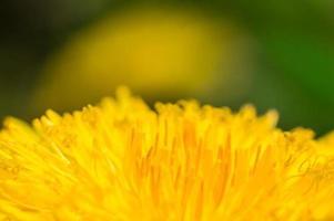 Löwenzahn mit gelben Blütenblättern im Makro foto