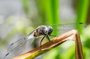 weiße Libelle auf Grasblatt im Makro foto