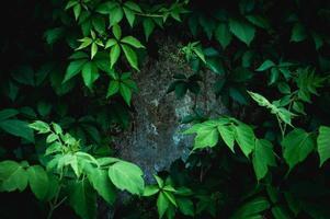 grüne Blätter wachsen an der Wand foto