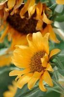 Nahaufnahmefoto der gelben Blütenblattblume foto