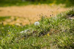 ein einsamer Löwenzahn auf dem Feld foto