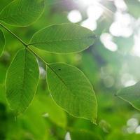grüner Baum verlässt im Frühling foto