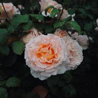 romantische rosa Rosenblume für Valentinstag foto