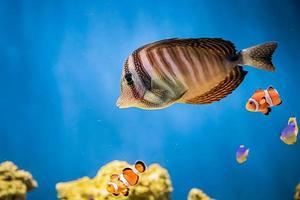Ein wunderschöner Meereskorallenfisch Zebrasoma veliferum schwimmt in der Nähe eines Riffs foto