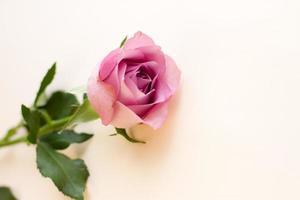 einzelne lila pionförmige Rose auf hellem Hintergrund foto