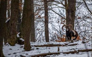 Mufflon in freier Wildbahn foto