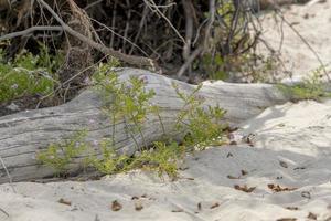 Treibholz wächst lila Blüten im Sand einer Düne an der Ostseeküste foto