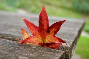 rotes Ahornblatt in der Herbstsaison foto