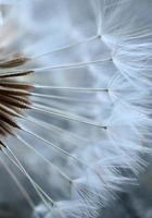 romantische Löwenzahnblume im Frühling foto