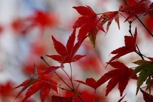 rote Baumblätter in der Herbstsaison foto