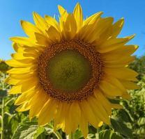 Makro-Sonnenblume mit Samen und gelben Blütenblättern im sonnigen Tag stock photo foto