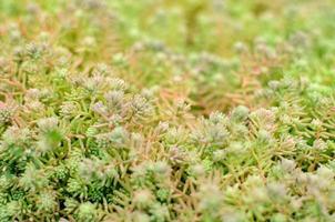 Sedum Stonecrop Spanisch schließen in einem Sommer foto