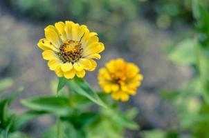 gelbe Zinnienblüten mit verwischtem Hintergrund im Sommer foto