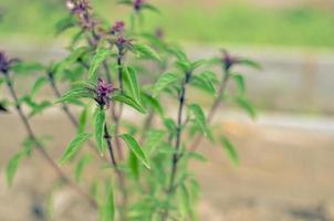 Wachsen von frischen Basilikumblättern Grüne Basilikumblätter bereit, die leckeren Küchenrezepte Kräuterhintergrund zu schmecken foto