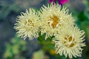 Makrofoto Natur blühende Blume weiße Aster als Hintergrundbeschaffenheit foto