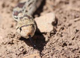 nah genug, um eine Gopher-Schlange mit ausgestreckter Zunge zu küssen foto