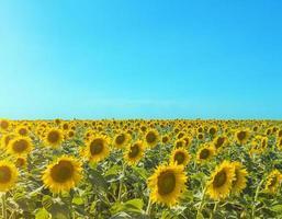 Sonnenblumenfeld mit Sonnenblendung und blauer Himmelslandschaft mit Kopienraum stock photo foto
