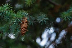 Zapfen an den Zweigen einer großen Fichte foto