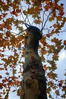 Bäume mit braunen Blättern in der Herbstsaison foto