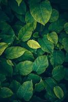 grüne Pflanzenblätter im grünen Hintergrund der Natur foto