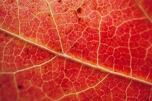 rotes Ahornblatt im roten Hintergrund der Herbstsaison foto