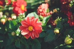 rote Dahlienblume, die auf einem grünen Hintergrund blüht foto