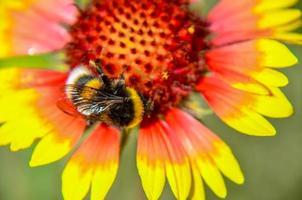 Biene auf gelbem und orangefarbenem Blütenkopf von Rudbeckia Susan mit schwarzen Augen foto