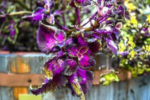 Amaranthus tricolor Null foto
