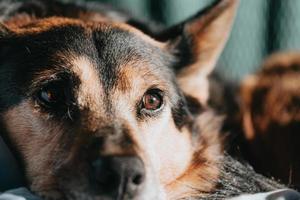 süßer brauner und schwarzer Hund foto