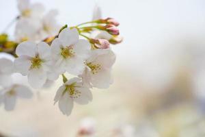 schöne Sakura Kirschblütenblüten foto