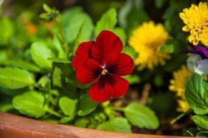 violaceae batsch null foto