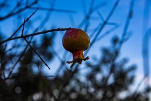 kleiner Granatapfel Null foto