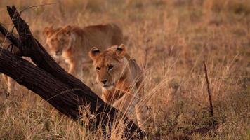 eine afrikanische erwachsene Löwin, die mit ihrer Pfote einen Baum inspiziert foto
