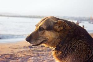 alter streunender Hund, der sich am Strand abkühlt foto