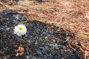 Blumen überleben auf Asche von verbranntem Gras foto