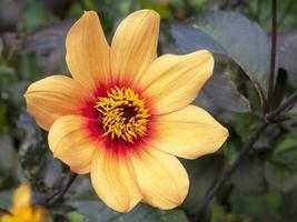 schöne gelbe einzelne Dahlienblume in einem Garten foto