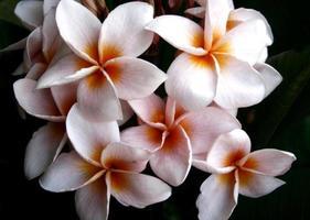 Frangipani-Blume oder Leelawadee-Blume foto