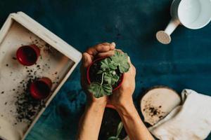 ein Paar Hände, die mit einer wachsenden Pflanze im Garten arbeiten foto