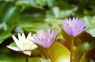 violette und weiße Lotusblüten mit grünen Blättern im Teich foto