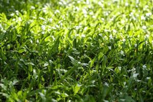 grünes Gras Textur Hintergrund mit Sonnenlicht foto